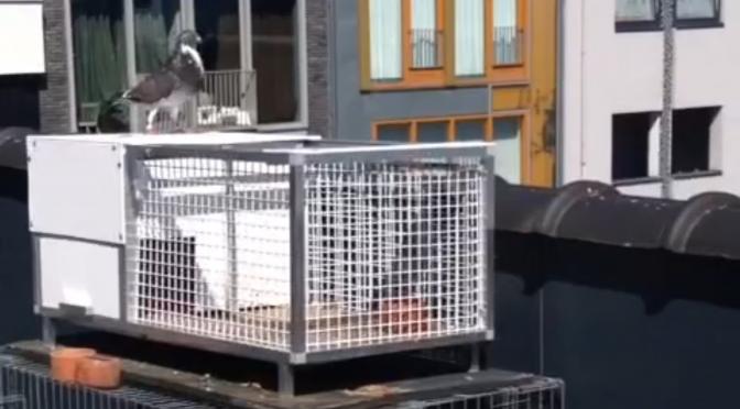 Automatische duivenval, makkelijker kan niet