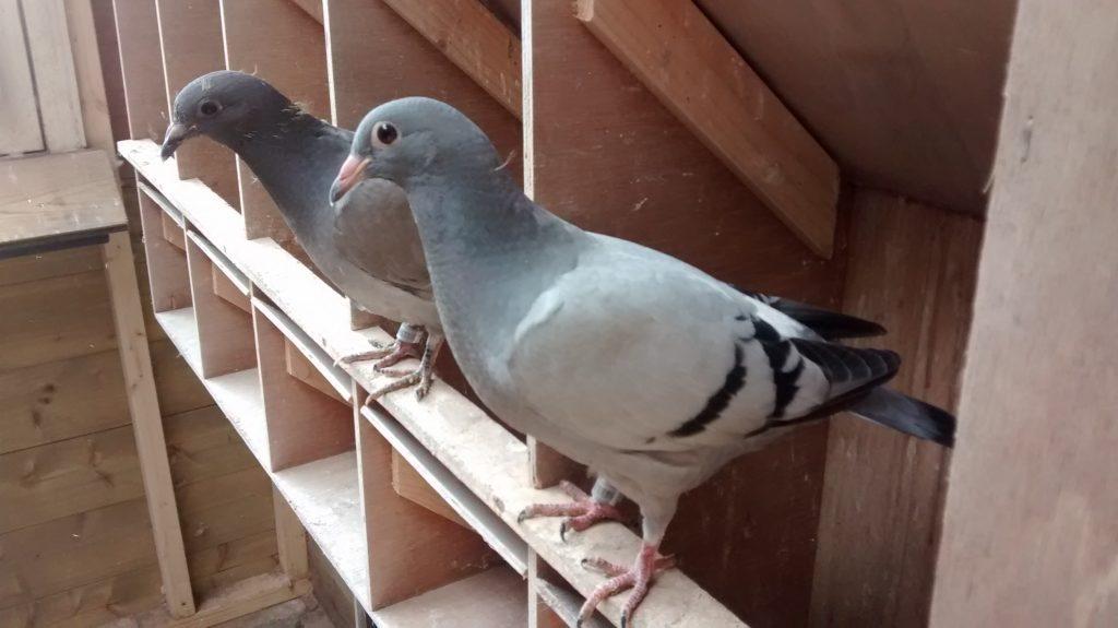 Circo Virus – roeit een heel hok met jonge duiven uit