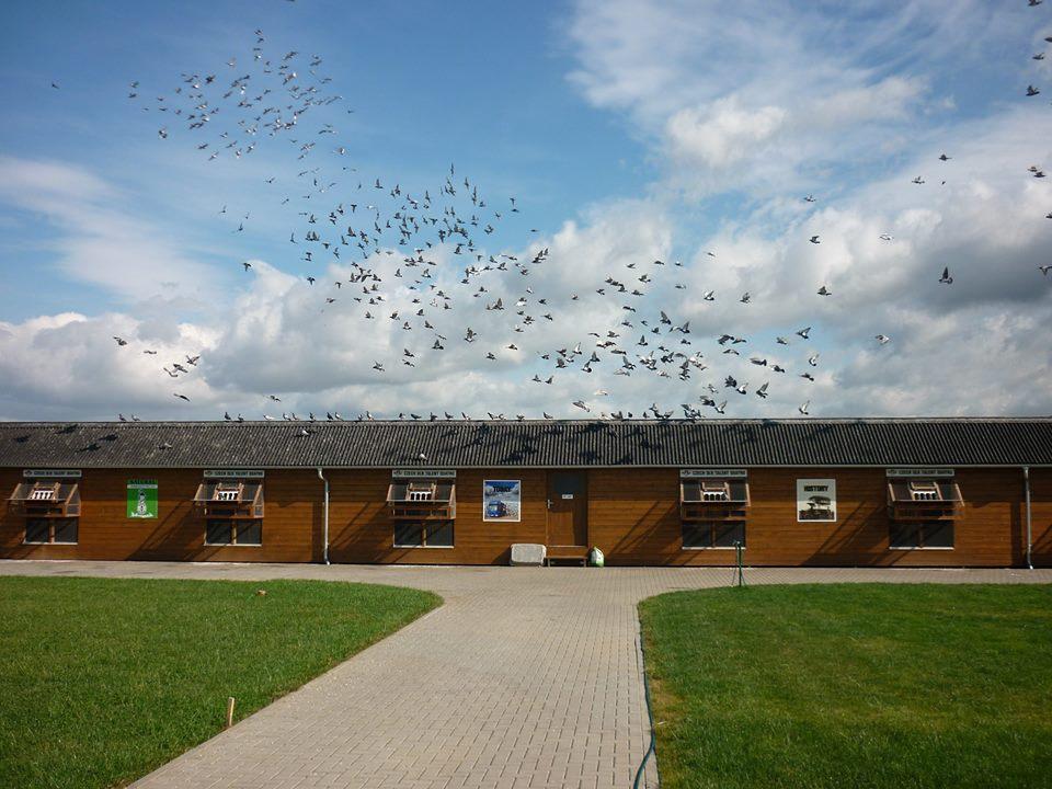 Eénhok races, de ultieme krachtmeting tussen de beste duivenmelkers ter wereld