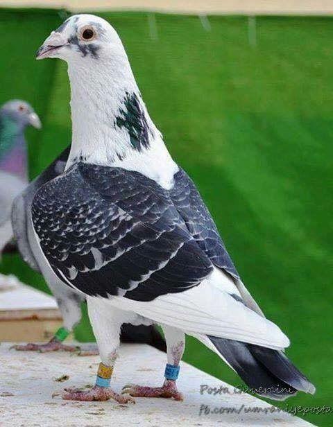 Groene duiven – het nieuwe duivenmelken