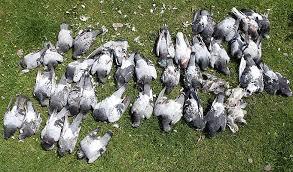 Rampvluchten, 150 000 postduiven opgevreten door roofvogels