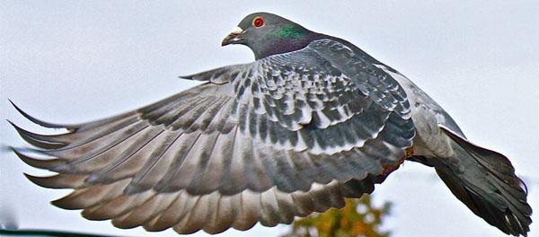 Welke postduiven wijzen een groep wedstrijd duiven de weg naar huis