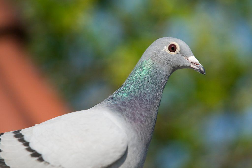 Jonge duiven problemen