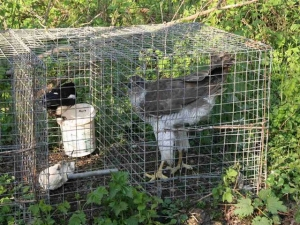 Tips tegen overlast roofvogels