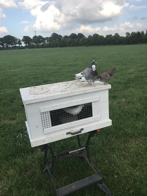 Vliegen met duiven op een vliegkist